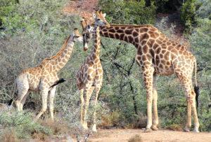 """Dié twee foto's van kameelperde wat Higgo Jacobs die afgelope naweek by die Buffelsdrift Game Lodge net buite Oudtshoorn geneem het, toon duidelik dat die dorp nie net 'n """"grootvoëlparadys"""" is nie, maar ook 'n """"langnekparadys"""". Oudtshoorn en die Klein Karoo bied voorwaar vele en uiteenlopende ervarings aan vir besoekers aan die streek. Foto: Higgo Jacobs"""