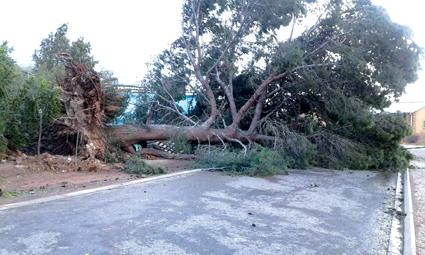 Dié boom in Dr Garischstraat in Ladismith was een van talle wat gister in die vroeë oggendure deur sterk wind ontwortel is.