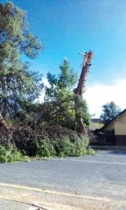 Een van die talle bome wat deur gister se sterk winde omgewaai is, was dié een by Laerskool Van Reede.