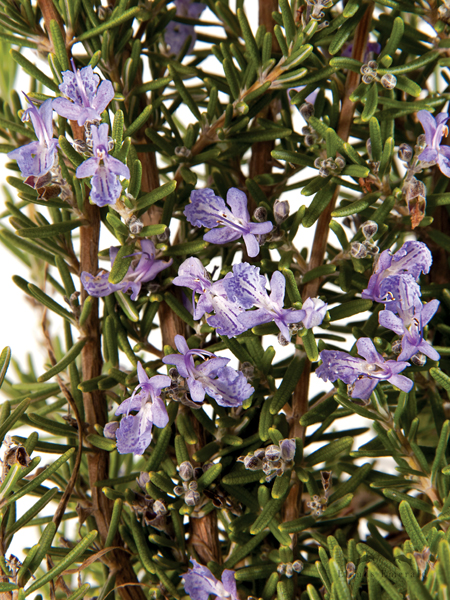 """Barbeque Rosemary is a """"must have"""" evergreen for any South African garden! It is a fast growing herb, with aromatic, spiky dark green leaves and has strong, straight stems, It is a culinary and medicinal herb that has a good flavour, making it perfect for barbeque skewers! It grows in the sun and reaches 60-90 cm high. In the summer time it produces clear blue flowers. Water-wise and can take light frost.        Photos: https://www.lifeisagarden.co.za"""