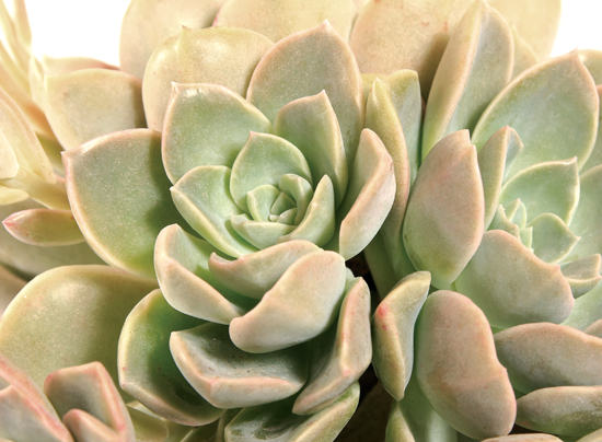 The Desert Rose is a rosette-shaped, clump-forming succulent. It grows best in full sun to partial sun. This is a great drought and frost tolerant plant, that needs minimal water. Be sure to let the water drain and let the soil dry out before watering it again.