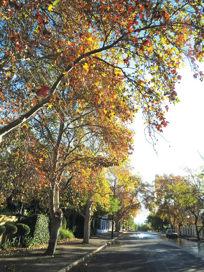 Die kleure van herfs vasgevang  in dié bome in Jan van Riebeeckweg, Oudtshoorn.