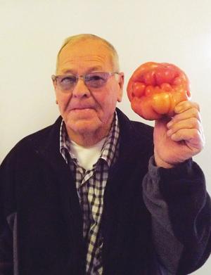 Piet du Toit (68), 'n inwoner van Die Palms op Oudtshoorn, wys 'n mas-siewe tamatie wat hy in sy eie organiese groentetuin by sy huis gekweek het. Dié groot  tamatie, met sy eienaardige gefrommelde vorm weeg 'n hele een kilogram, sê hy.  Foto: Ilze-Mari Gründling