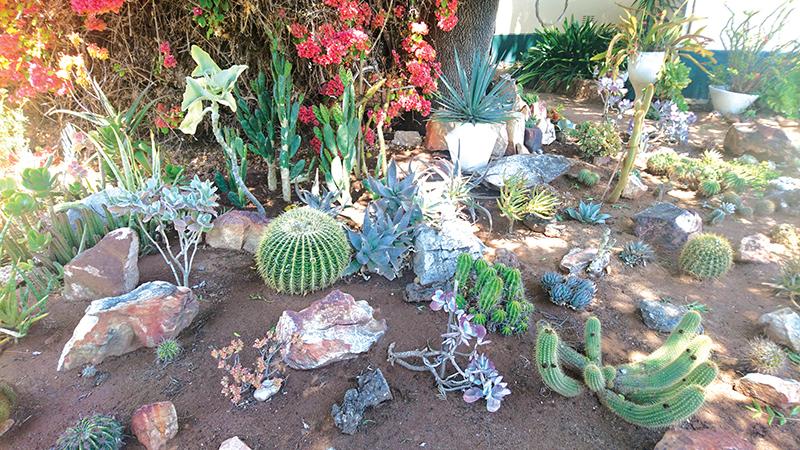 Die gevestigde kaktustuin van Gerrit en Helena Rossouw in Hospitaalstraat het ook baie belangstelling uitgelok met die interessante plante in die tuin.                               Foto: Liesel le Roux