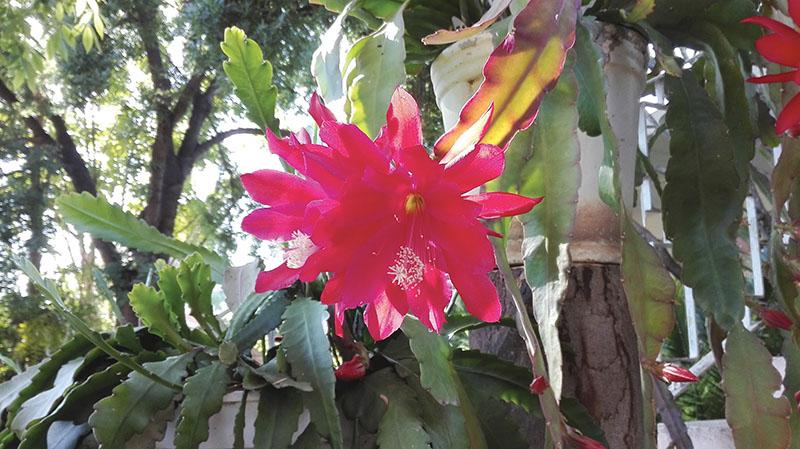 MEKSIKAANSESOMERINDIEKLEINKAROO! Erina Terblanche van Oudtshoorn het dié mooi foto van die rooi blom van die Disocactus Ackermanni, 'n Meksikaanse kaktus, in haar tuin geneem. Terblanche het drie van dié kaktusse, wat tans blom, in haar tuin.