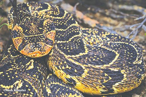 Die giftige slange in die Klein Karoo is van links die Kaapse kobra, 'n boomslang en 'n pofadder. Foto's: Rian Stander