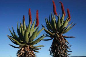 Aloe-ferrox