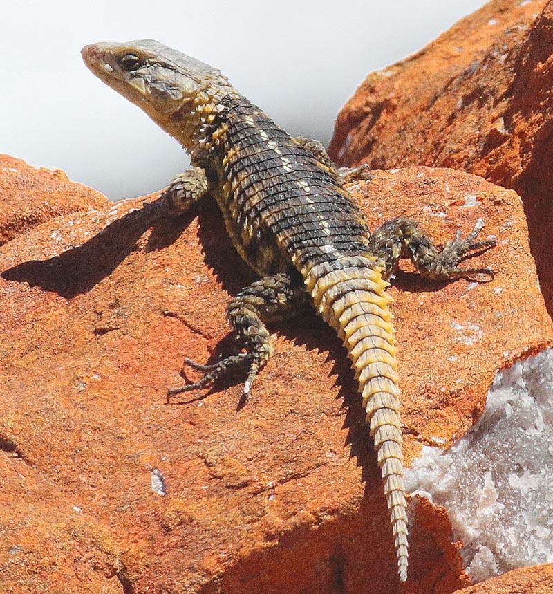 Hierdie lesersfoto van 'n Kaapse gordelakkedis (Cape Girdled  Lizard) is onlangs deur MC Botha naby Kaap  Infanta in die Overberg geneem.