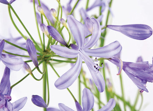The waterwise Agapanthus
