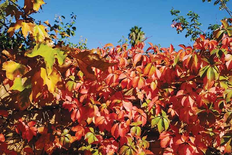 Die Klein Karoo se tuine en sypaadjies skitter elke herfs in goud en rooi en roesbruin. Dié pragtige herfsblare is in Jan van Riebeeckweg op Oudtshoorn. Foto:  Schalk le Roux