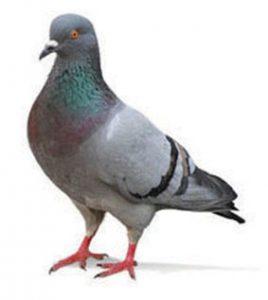 De Jager-duiwe vlieg 12 plekke los