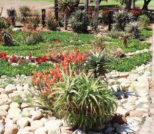 Oudtshoorn Gholfklub spog met mooi vetplanttuin